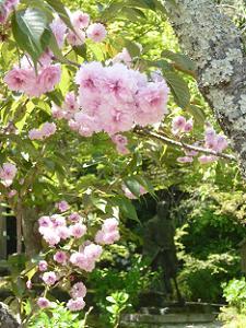 見ごろに向かう二尊院普賢象桜
