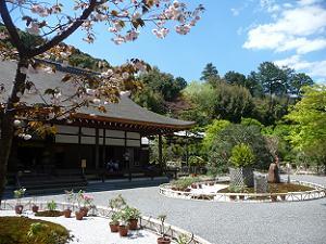 普賢象桜と本堂