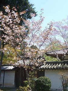 普賢象桜の全体