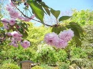 二尊院普賢象桜のアップ