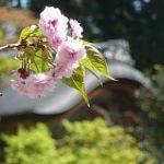 二尊院で見る二尊院普賢象桜・2017年