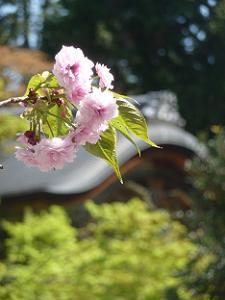 二尊院普賢象桜と勅使門