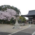 無人の乃木神社で見る満開の桜・2017年