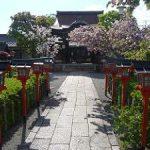六孫王神社で満開になった遅咲きの桜・2017年