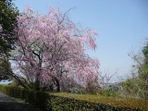 悲田院の八重紅枝垂れ桜