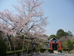 戒光寺の桜