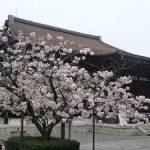 千本釈迦堂で見ごろを迎えた遅咲きの桜・2017年