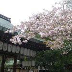 白峯神宮の黄桜と普賢象桜・2017年