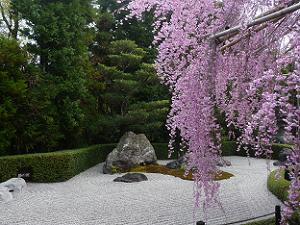 陽の庭と八重紅枝垂れ桜