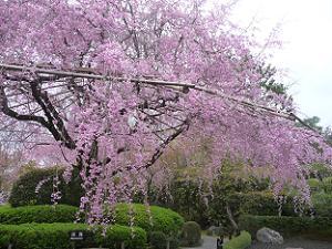 見ごろの八重紅枝垂れ桜