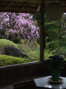 あずまや越しに見る八重紅枝垂れ桜