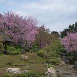 退蔵院の見ごろの八重紅枝垂れ桜・2017年