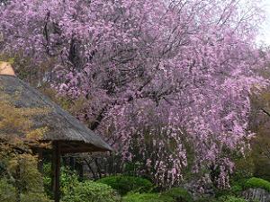 あずまやと八重紅枝垂れ桜