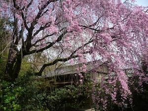 茶席近くの八重紅枝垂れ桜