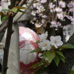 雨宝院の散りゆく桜・2017年