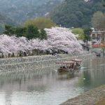 宇治川の満開の桜・2017年