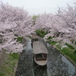 宇治川派流の満開の桜・2017年