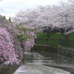 与杼神社と淀水路の満開の桜・2017年