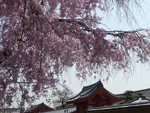 赤十字病院の八重紅枝垂れ桜