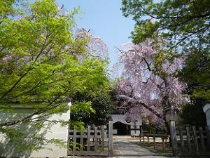 新緑と八重紅枝垂れ桜