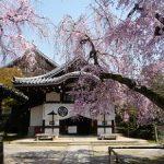 養源院の本堂前で見ごろを迎えた八重紅枝垂れ桜・2017年