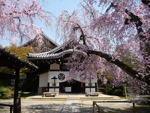 本堂と八重紅枝垂れ桜