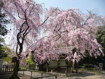 降り注ぐ八重紅枝垂れ桜