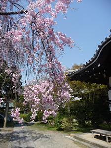 八重紅枝垂れ桜の枝先
