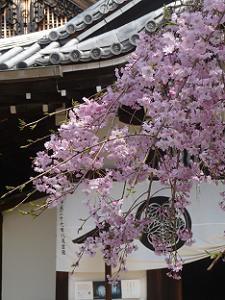 三つ葉葵と八重紅枝垂れ桜