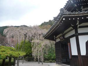 花を散らした桂昌院しだれ桜