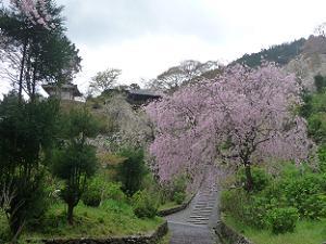 白山桜あじさい苑の八重紅枝垂れ桜