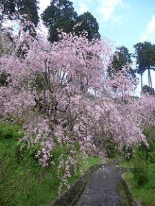 見ごろを保つ八重紅枝垂れ桜