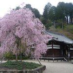 善峯寺の釈迦堂付近で満開になった八重紅枝垂れ桜・2017年