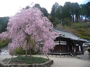 八重紅枝垂れ桜と釈迦堂
