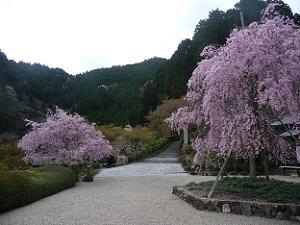 2本の八重紅枝垂れ桜