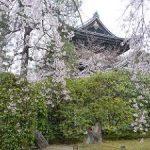 知恩院の友禅苑で咲く枝垂れ桜・2017年