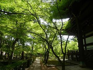 本堂裏の新緑