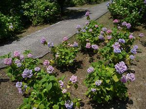 足元で咲くアジサイ