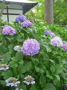 薄紫色のアジサイ