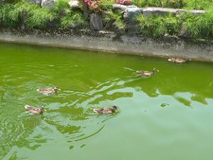 池で泳ぐカルガモ