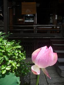 咲きかけのハス