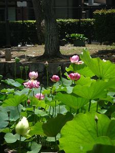 放生池で咲くハス