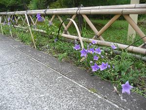 参道脇のキキョウ