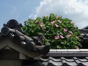 屋根瓦とフヨウ
