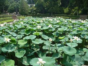 思遠池のハス