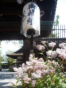 表門前のフジバカマ