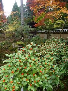 センリョウと紅葉