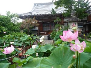 大蓮寺のハス