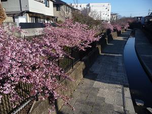 淀水路の見ごろの河津桜