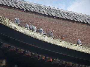 屋根にとまるハト